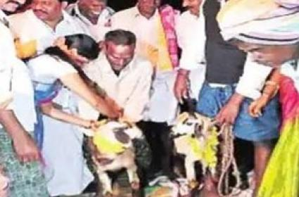 Ram, Sheep Married In Chittoor As Part Of Ancient Sankranti Ritual