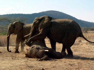 Real friends: Elephants refuse to leave electrocuted pal - Sakshi Post