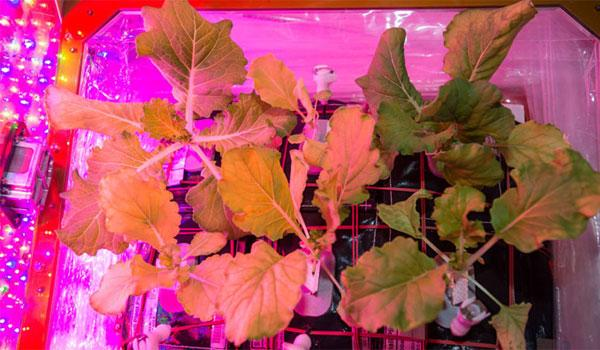 First crop of Tokyo Bekana Chinese cabbage harvested on space station - Sakshi Post