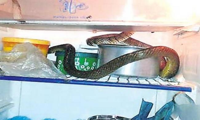 A king cobra rests in a refrigerator in Raju's home in Sircilla - Sakshi Post