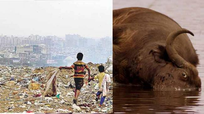 A buffalo was killed when a country-made bomb exploded at a garbage dumping yard in Miyapur on the city outskirts on Monday. - Sakshi Post