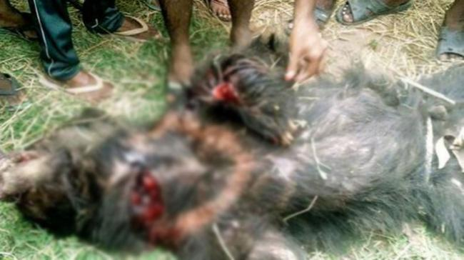 The villagers later killed the bear and shifted the injured to the hospital - Sakshi Post