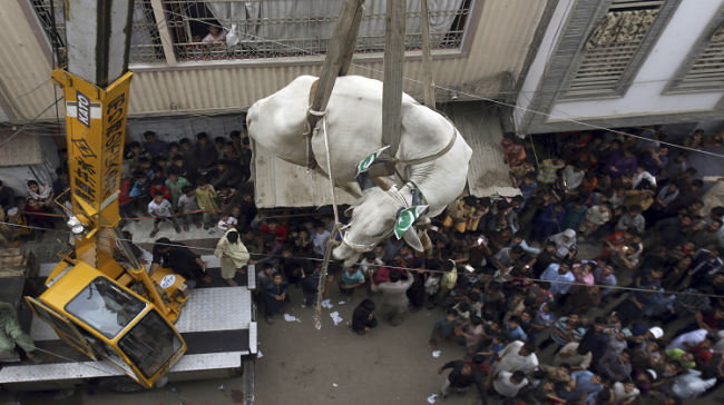 A bull being lowered from top of a building in Karachi, Pakistan - Sakshi Post