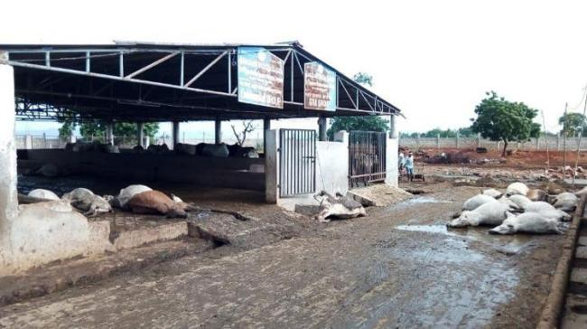 Mystery Shrouds Death Of 80 Cows In Vijayawada Shelter Home - Sakshi Post
