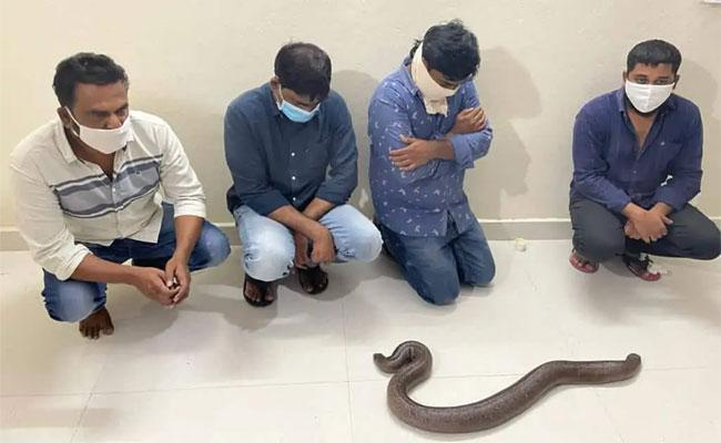 Hyderabad: Four Held For Trying To Sell Red Sand Boa Snake - Sakshi Post